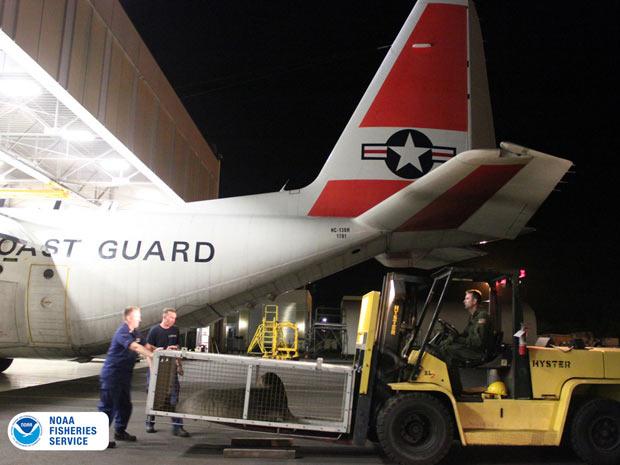 A foca KE18 foi transferida em um avião da Guarda Costeira para um aquário no Havaí (Foto: AP Photo/ Arquivo Noaa)