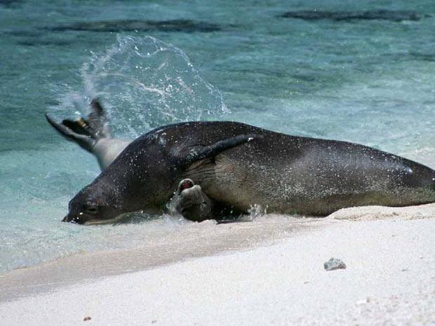Foto da Administração Oceânica e Atmosférica dos Estados Unidos mostra um dos momentos de ataque da foca KE18 a um filhote no Atol de Kure, no Havaí (Foto: AP Photo/NOAA, File)