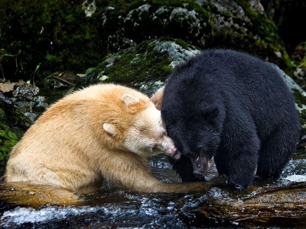 Raro exemplar de urso-espírito, todo branco, foi fotografado no Canadá enquanto brincava com urso-negro (Foto: Paul Nicklen/ NAT GEO STOCK/ CATERS)