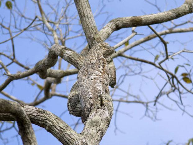 Conhecida como urutau-grande, a espécie 'Nyctibius grandis' passa sem chamar a atenção em uma foto feita no Brasil (Foto: Caters/BBC)