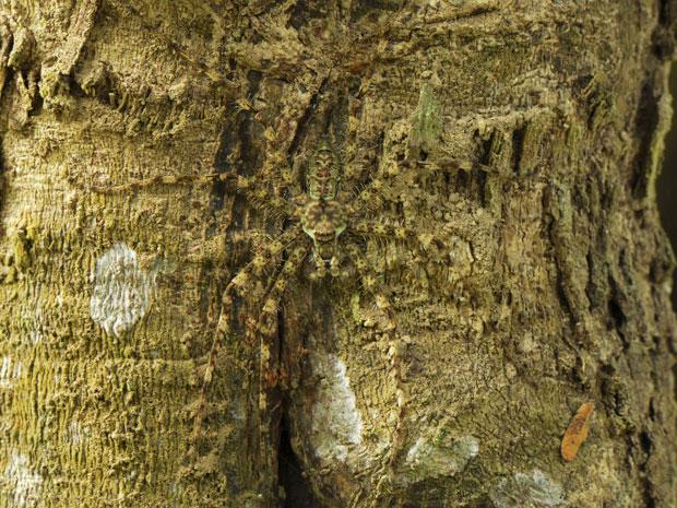 A chamada 'aranha-líquen' se mistura a uma árvore, no Parque Nacional de Erawan, na Tailândia (Foto: Caters/BBC)