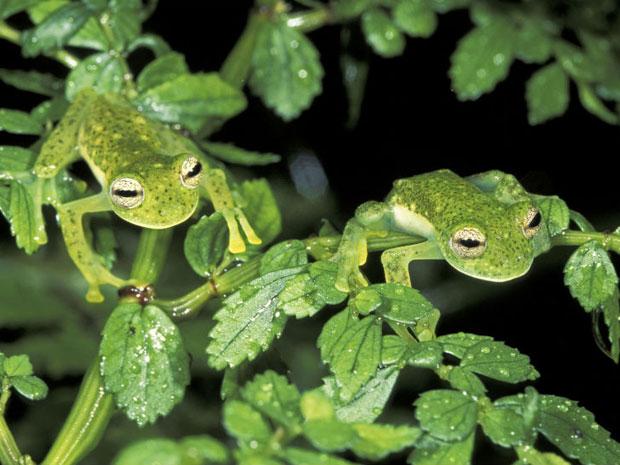 Os sapos flagrados no Parque Nacional Manu, no Peru, moldam-se à vegetação verde que os rodeia (Foto: Caters/BBC)