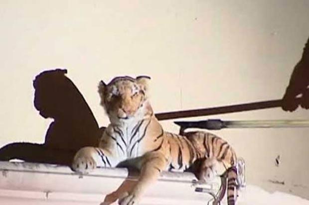 Em janeiro de 2012, os bombeiros de Houston, no estado americano do Texas, realizaram uma operação para retirar um tigre de cima de um telhado de um hotel abandonado. Ao chegar, os bombeiros descobriram que a ameaça não passava de um grande tigre de pelúcia.  (Foto: Reprodução)