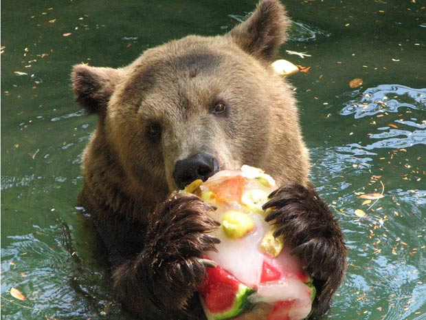 Zé Colmeia the bear eating a fruit sherbert while swimming at the Rio de Janeiro Zoo 2012