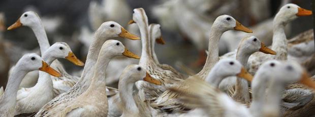Patos suspeitos de terem a gripe aviária são confinados nesta terça-feira (14) na província vietnamita de Ha Nam (Foto: AP)