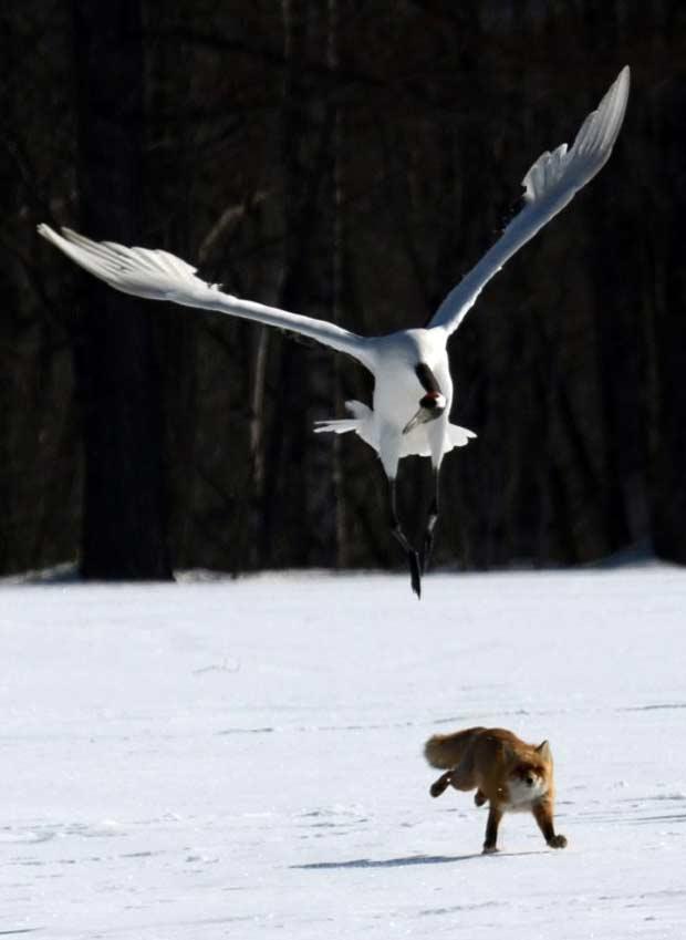 Cerca de 400 aves foram avistadas no local durante este inverno. Elas migraram do leste da Rússia, do nordeste da China e do leste da Mongólia (Foto: Takashi Noguchi/AFP)