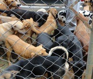 Voluntária de São Roque, SP, recolhe cães das ruas (Foto: Divulgação)