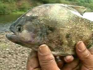 Piranha-like carnivorous fish attack resort swimmers in southern Brazil 19 February 2012