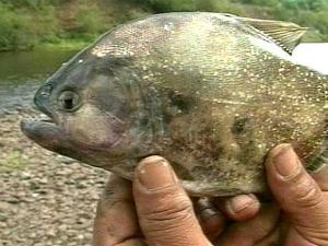 Ataque do peixe carnívoro palometa em Santa Maria, RS (Foto: Reprodução/RBS TV)