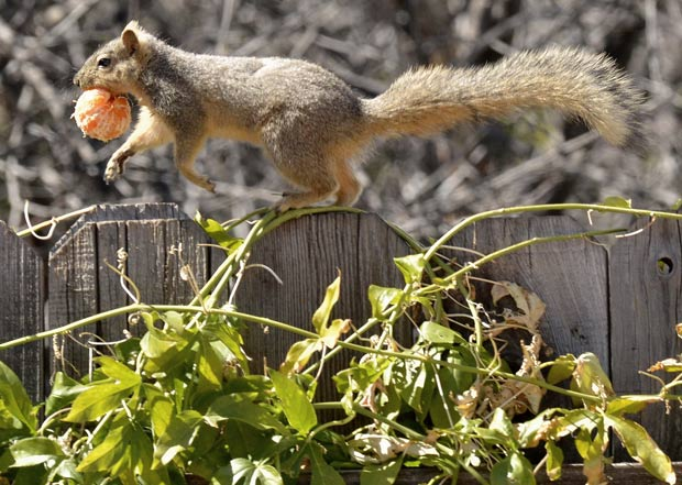 Esquilo foi flagrado fugindo com tangerina em cima de cerca. (Foto: Joe Klamar/AFP)