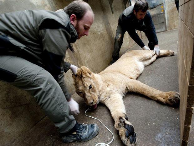 Veterinários do zoológico de Mulhouse, na França, realizam exames médicos em uma leoa nesta quinta-feira (24). (Foto: AFP Photo / Sebastien Bozon)
