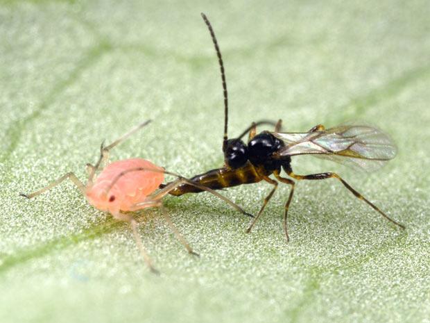 Vespa parasita ataca o pulgão de ervilha e deposita ovos dentro dele. (Foto: Divulgação / Alex Wild)