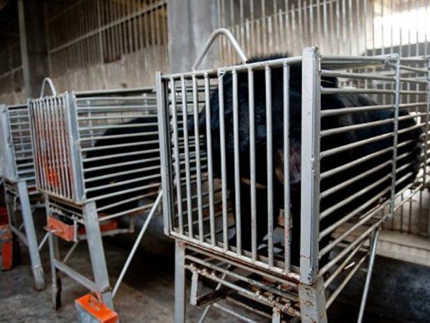 Ursos-negros aprisionados em fazenda da China aguardam por procedimento cirúrgico para retirada da bile, líquido produzido pelo fígado que será transformado em medicamento. (Foto: AFP)