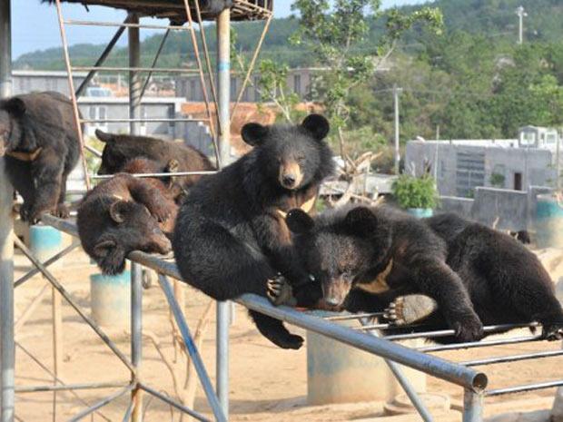 A companhia afirma que mantém em cativeiro 400 exemplares de urso-negro e que pretende expandir este número para 1.200. (Foto: AFP)