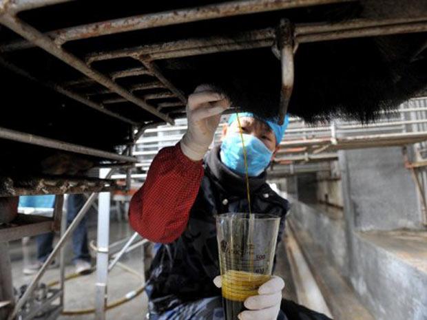 Empresa farmacêutica da China afirma que procedimento cirúrgico para retirar a bile é indolor aos ursos. Ativistas protestam contra prática. (Foto: AFP)