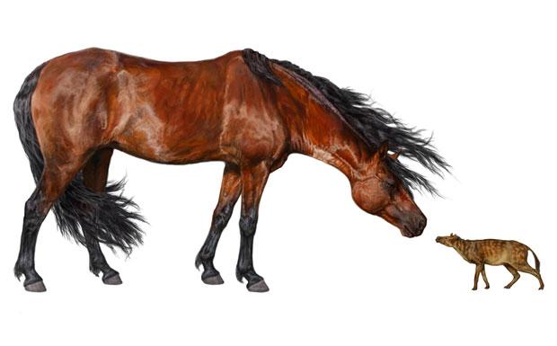 Ilustração compara o 'Sifrhippus', à direita, com o cavalo moderno (Foto: Danielle Byerley, Museu de História Natural da Flórida)