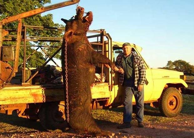 Um porco selvagem gigante, que atacava até vacas na Austrália, foi abatido pelo fazendeiro John Anick em 2006 em uma fazenda próximo a Newman. (Foto: Reprodução)