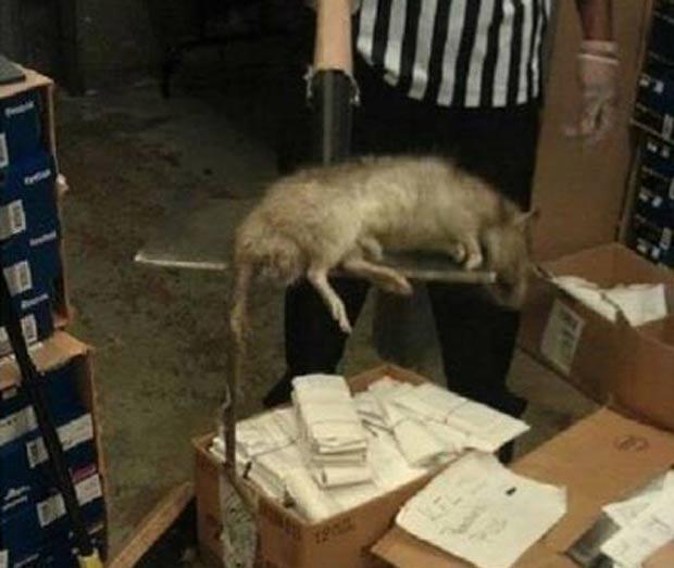 Em janeiro de 2011, um rato de quase 1 metro de comprimento foi capturado em uma loja no bairro do Bronx, em Nova York (EUA). (Foto: Reprodução)