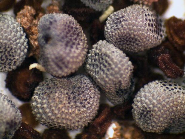 Sementes pertencem à espécie Silene stenophylla, uma planta com flor. Foram encontradas em uma toca de esquilo da Era do Gelo, em águas congeladas do rio Kolyma, na Sibéria. O material pode ajudar os cientistas a reviver outras espécies, de acordo com a imprensa local.  (Foto: Denis Sinyakov / Reuters)