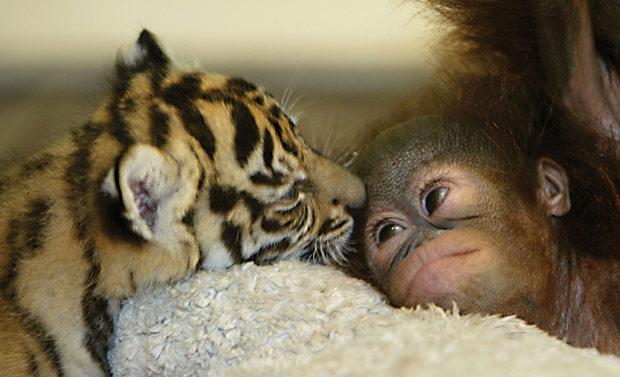 Tigre-de-sumatra e bebê orangotango, amigos em zoo da Indonésia (Foto: AP)