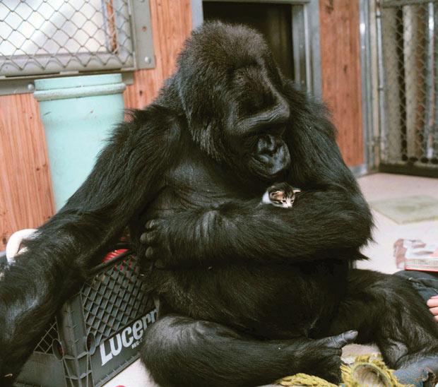 Gorila Koko e seu gatinho de estimação nos EUA (Foto: © Ron Cohn/Gorilla Foundation/koko.org)