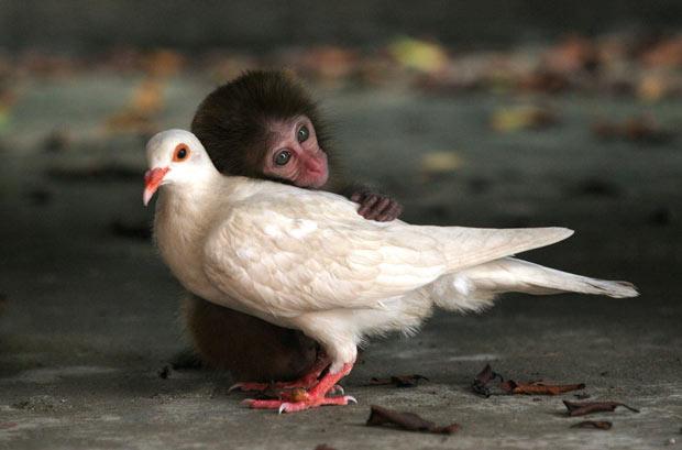 Bebê macaco e pomba que ficaram amigos em ilha na China (Foto: CNImaging/Photoshot)