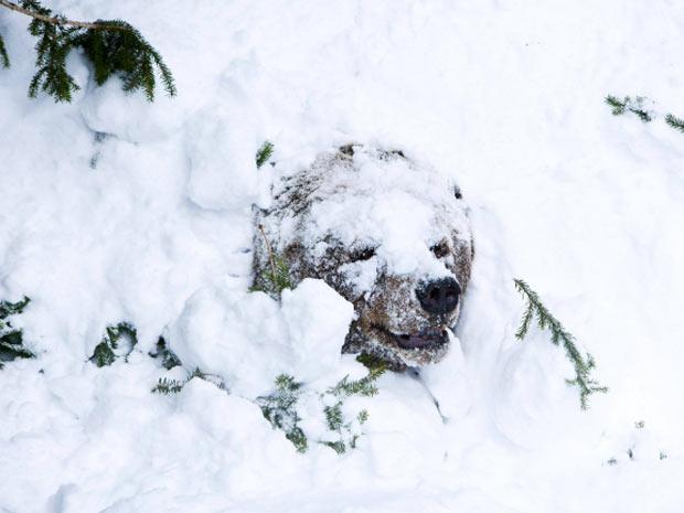 hibernação urso pardo