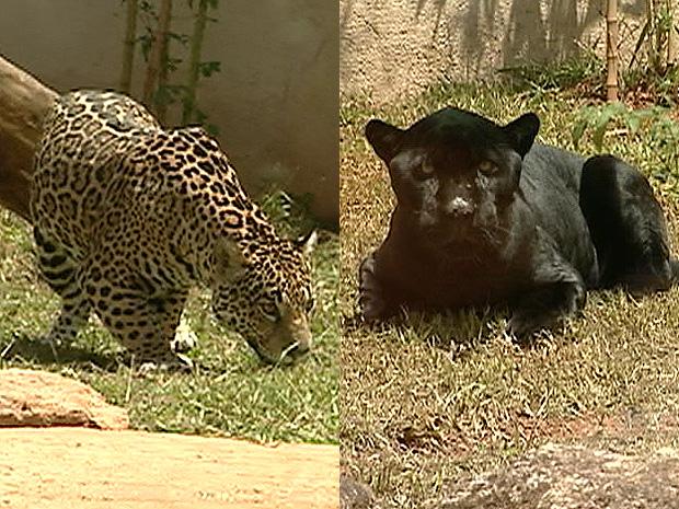 Casal de onça pintada é atração do primeiro zoológico do Espírito Santo (Foto: Reprodução/TV Gazeta)