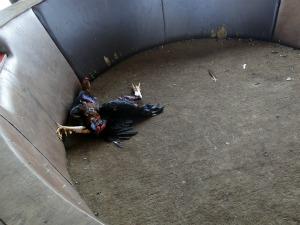 Polícia encontrou arenas para brigas de galo em MT (Foto: Divulgação/Polícia Militar)