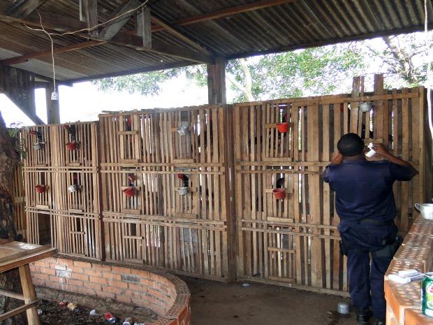 Vários galos usados em rinha estavam presos em gaiolas em MT (Foto: Divulgação/Polícia Militar)