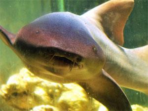 Tubarão-lixa chegou em 2007 no Parque Dois Irmãos. (Foto: Silvino Pinto/Divulgação)