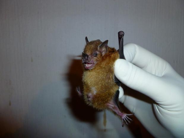 Fragmentos genéticos do vírus da gripe A foram descobertos na espécie de morcegos 'Sturnira lilium'. (Foto: Amy Gilbert / AP Photo)