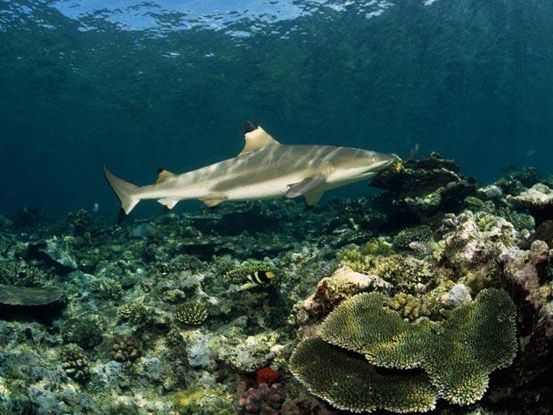 Esta foto mostra um tubarão gália preta (Foto: Klaus Jost/BBC)