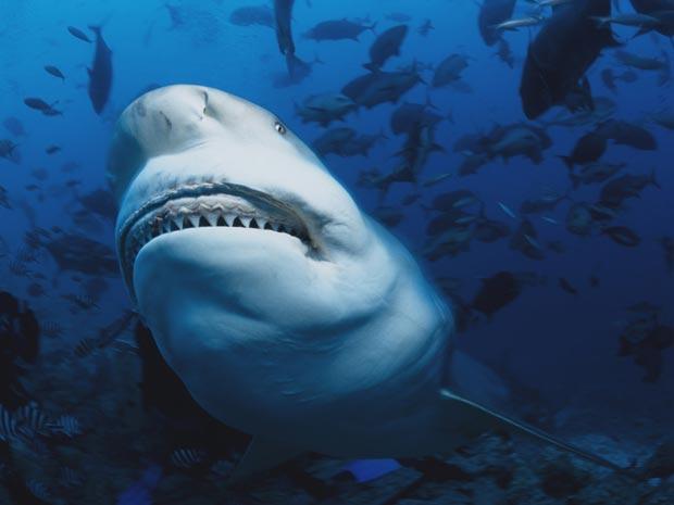 """Tubarão-touro que Jost apelidou de """"vovó"""", devido a sua natureza dócil e relaxada (Foto: Klaus Jost/BBC)"""