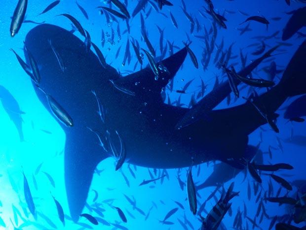 O tubarão-touro também pode viver em água doce (Foto: Klaus Jost/BBC)