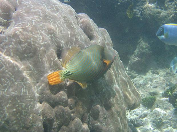 'Balistapus porites', peixe estudado pela pesquisa no Quênia (Foto: Jennifer O'Leary/Divulgação)