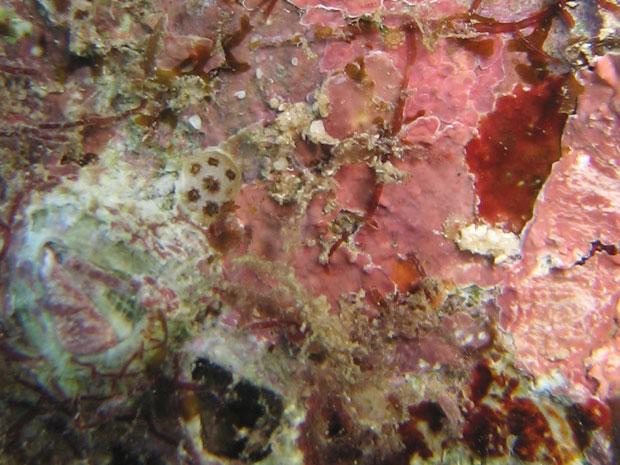 Coral coberto por algas vermelhas (Foto: Jennifer O'Leary/Divulgação)