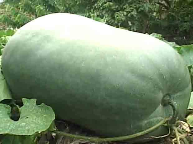 Pedreiro Osmarim Almeida plantou pepino em seu quintal e hortaliça chegou a 25 quilos no Pará (Foto: Reprodução/TV Liberal)