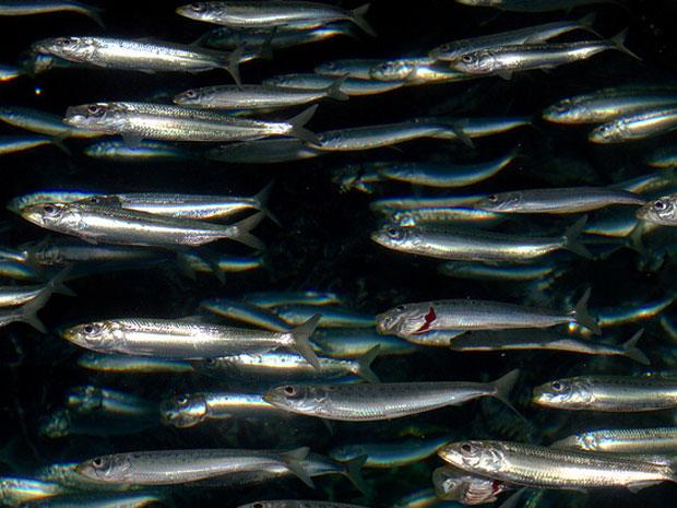 Cardume de sardinhas do Pacífico (Foto: brian.gratwicke/Licença CreativeCommons)