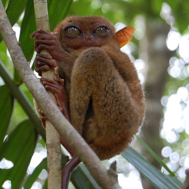Társio-filipino é um dos menores primatas do mundo. (Foto: Joe Sinclair/AFP)