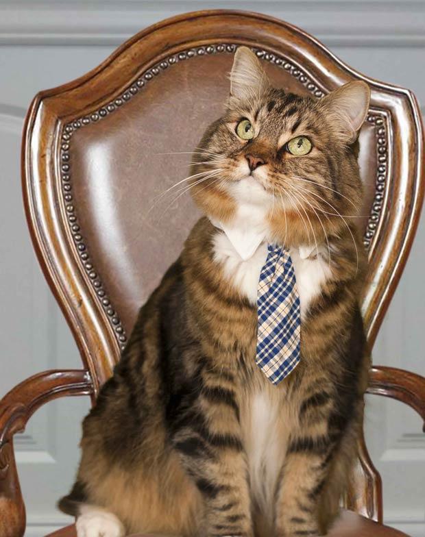 O gato Hank em sua foto oficial de campanha (Foto: Dang N. Le, Hank for Senate 2012 Campaign/AP)