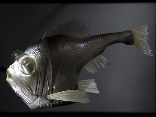 Machado-de-prata (Argyropelecus hemigymnus), que também foi exibido em 2010 em Dresden, na Alemanha. (Foto: Robert Michael/AFP)