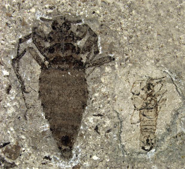 Fêmea (à esquerda) e macho de pulgas gigantes fossilizadas na China. (Foto: D. Huang / Nature)