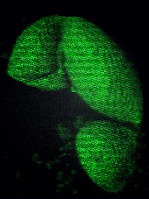 Pólen de pinheiro com cerca de 10 mil anos foi extraído de lago na Noruega e ajudou cientistas na descoberta  (Foto: Divulgação / Science / AAAS)