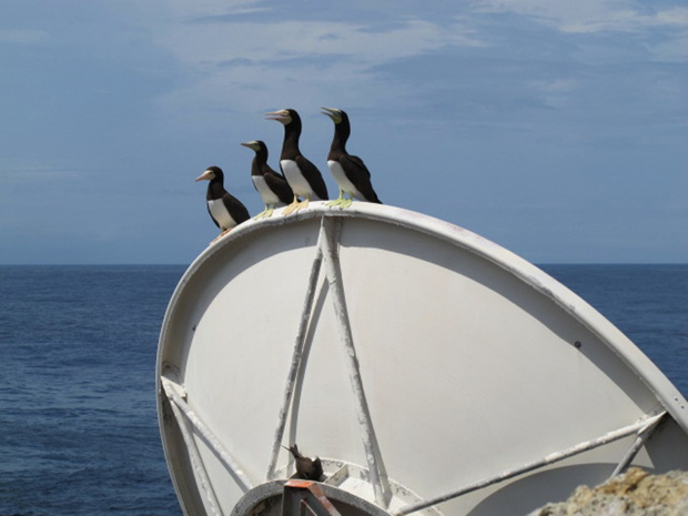 Atobás em antena da Embratel (Foto: Eduardo Carvalho/Globo Natureza)