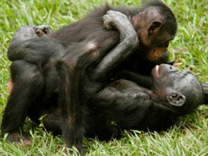 Casal de bonobos fêmeas (Foto: Zanna Clay/via BBC)