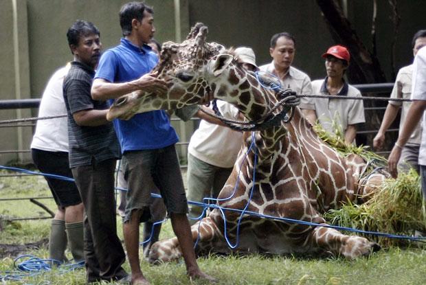 Tratadores cuidam da girafa na quinta-feira (1º), um dia antes de ela morrer no zoológico de Surabaya (Foto: Juni Kriswanto/AFP)