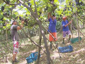 Produção familiar de uva cresce em São Vicente Férrer (Foto: Reprodução/ TV Globo)