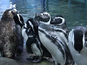 Pinguim 300 (Foto:  Sabina Escola Parque do Conhecimento)