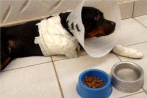 Rottweiler Lobo, que morreu após ser arrastado pelo dono, em Piracicaba (Foto: Reprodução EPTV)